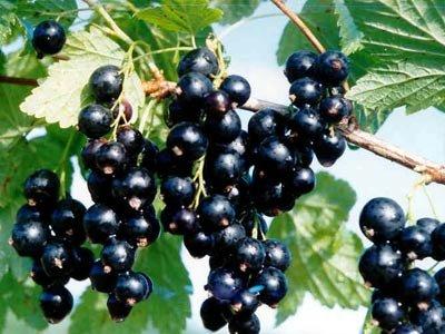 常吃黑色水果 抗老有奇效