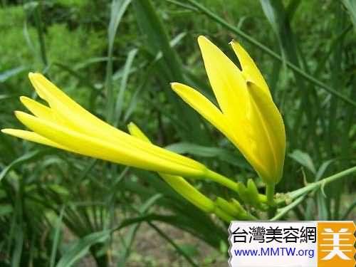 清熱黃花菜