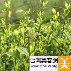 炎症痘--茶樹精油